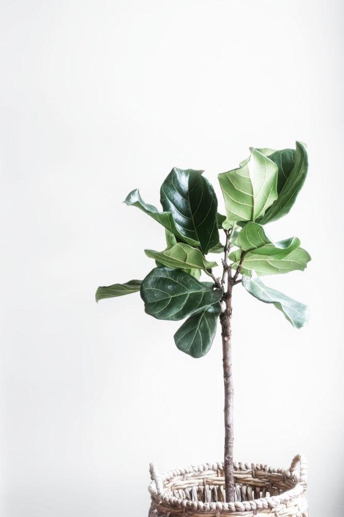 Fiddle leaf fig tree in basket pot.