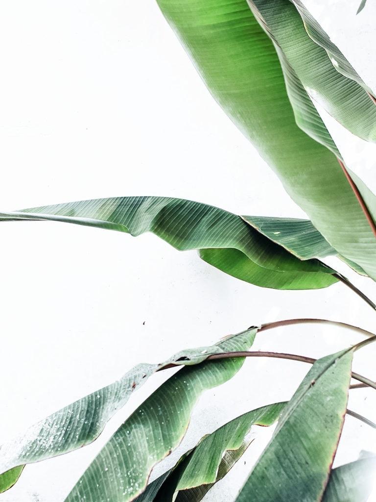 Birds of paradise plant.